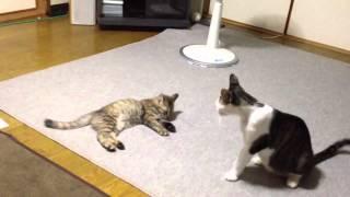 子猫と親子が喧嘩の練習⁉