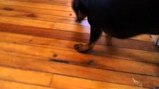Molly The Miniature Dachshund (wiener Dog) Eating Her Food Like Pacman