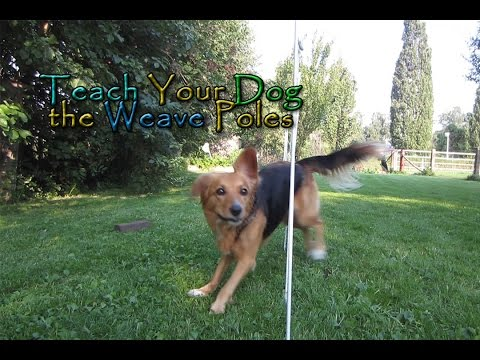 Teach Your Dog The Weave Poles! - In Four Steps! - Dog Agility