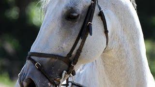 cheval Guyane France - 01bots #animaux