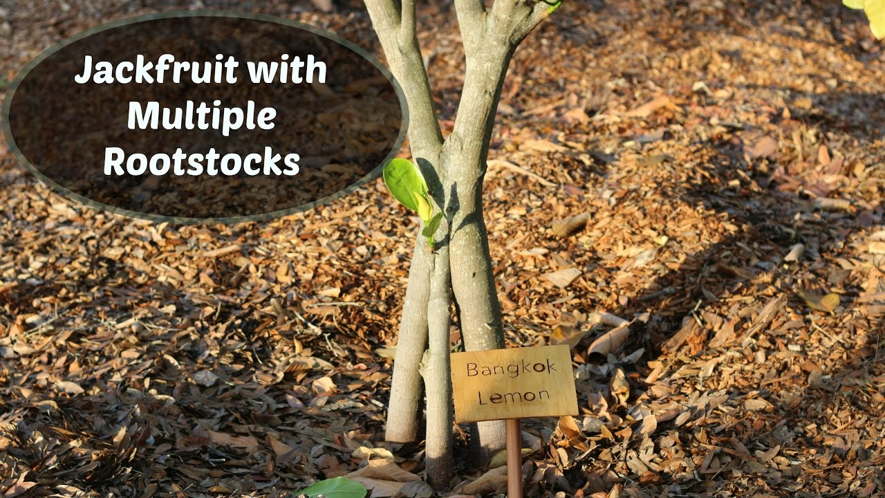 Jackfruit Tree With Multiple Rootstocks Inarch Grafts