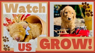 Watch Goldendoodle puppies grow! Birth to 8 weeks!