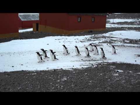 Base Esperanza - Desfile de pingûinos