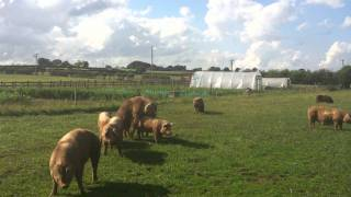 Pigs Having Sex