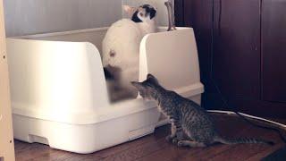 先輩猫のトイレシーンを目撃してしまった子猫