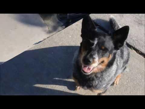 Temper, Australian Cattle Dog in Town