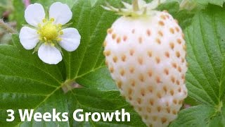 White Alpine Strawberry (White Soul from Burpee) Growth, Three Weeks