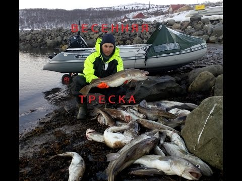 ВЕСЕННЯЯ ТРЕСКА / Баренцево море / The SPRING COD / Barents sea