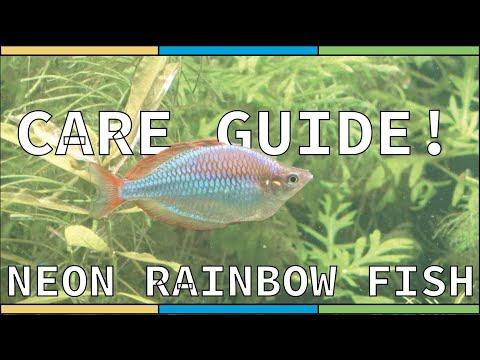 Dwarf Neon Praecox Rainbow Fish - Care Guide!