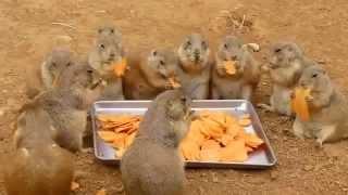 Застолье луговых собачек(, 2015-09-28T19:40:19.000Z)