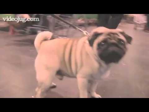 Dog Breeds: Pug