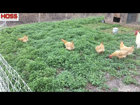 Building Soils with Chickens and Cover Crops