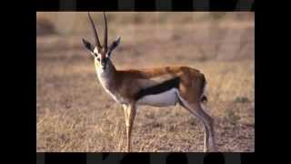 Top 10 Fastest Land Animals New (by odissey505)