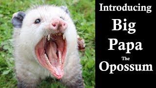 Introducing Big Papa The Opossum.     Mousetrap Monday