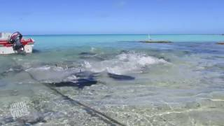 Giant Trevally Fish Attack | On The Prowl