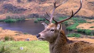 The Stag is the boss. - Glen Etive Scotland.