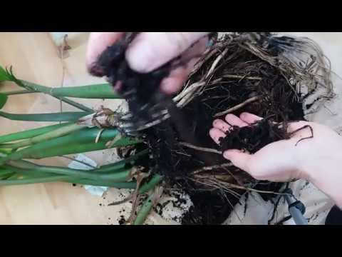 Размножение замиокулькаса. Деление и посадка