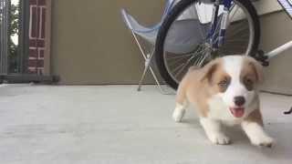 Corgi Puppy Running At 240fps