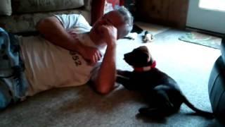 Labrador Retriever Pup Bruno Licked Papa In The Eye.
