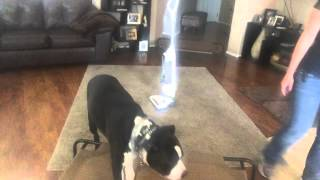 Insecure Bulldog Learns Basic Obedience, Off Leash Training For Behavior Modification