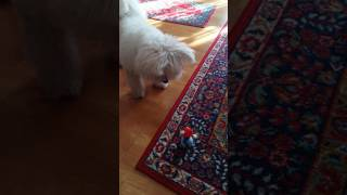 Havanese dog plays -ハバニーズ スピッツ (犬)