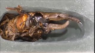 【動画】ヘラクレスオオカブトの成長記録がまるでエイリアンだと話題