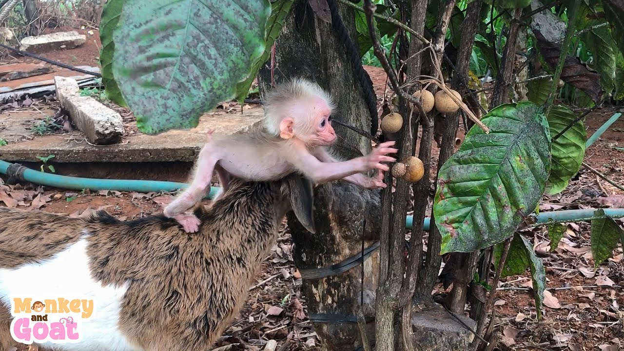 Baby goat helps baby monkey get fruit from the tree
