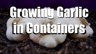 Growing Garlic in Containers - 5 Easy Steps // Growing Your Fall Garden #8