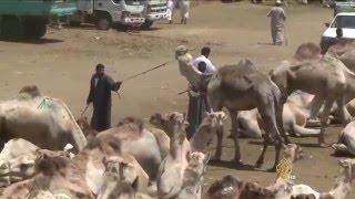 سوق برقاش.. إقبال على لحوم الجمال بمصر
