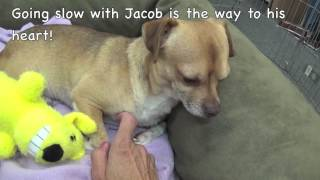 Adopt Bon Bon! Adopt Jacob! Pug/chihuahua Mix At 3 Years!