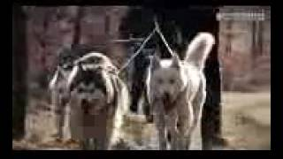 Sled Dog Training Veluwe Apeldoorn 2015 - How To Sled Dog Training Veluwe Apeldoorn 2015