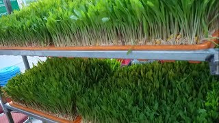 How to grow wheat hydrophonics fodder at home easily step by step गेहू के जवारे घर मे कैसे बनाए