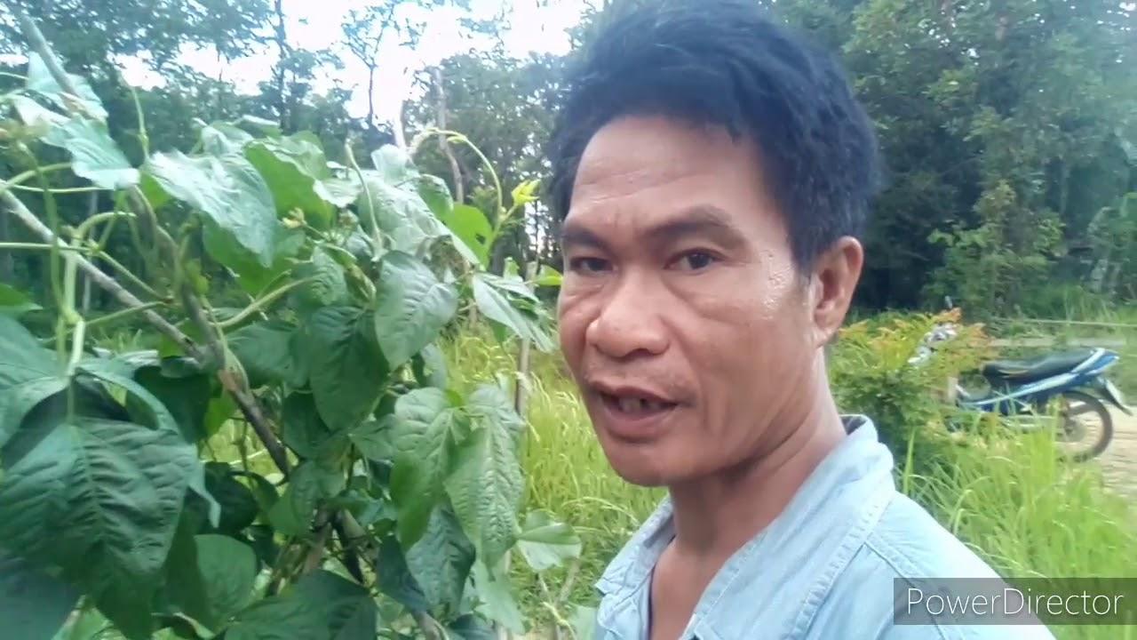 #ทำสวน,ถั่วฝักยาว,นี่จะเป็นบทพิสูจน์ว่าเมล็ดพันธุ์ถั่วที่เก็บเองจะได้ผลใหม,จะคุมไข่แมลงให้ได้