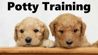 How To Potty Train A Goldendoodle Puppy - Goldendoodle House Training Tips - Goldendoodle Puppies