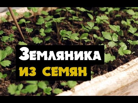 Земляника из семян - вырастить рассадку земляники ремонтантной из семян  (садовая земляника)