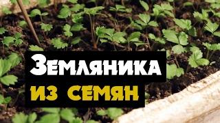 видео Садовая земляника