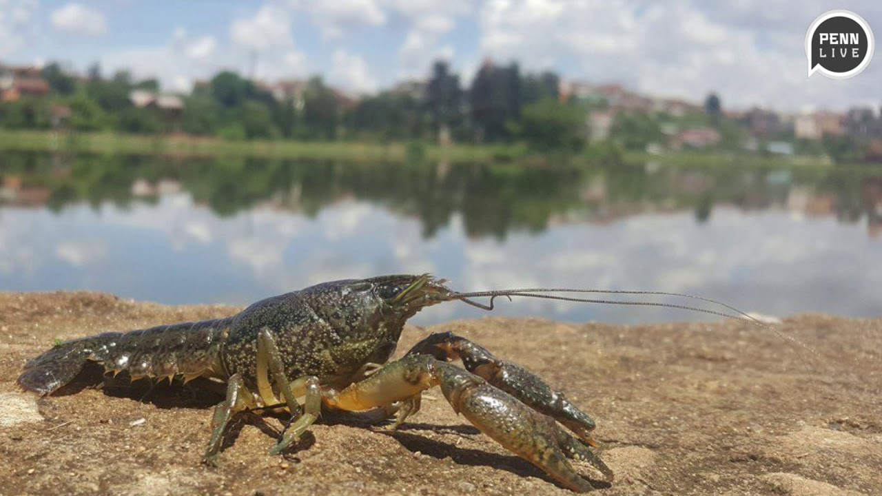Marbled crayfish becomes plentiful species thanks to genetic mutation