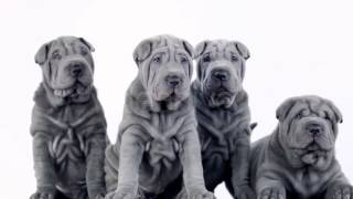 Stock Footage - Four Shar Pei Pups Sitting In The Studio | Videohive