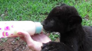 Baby black jaguar is a messy eater!