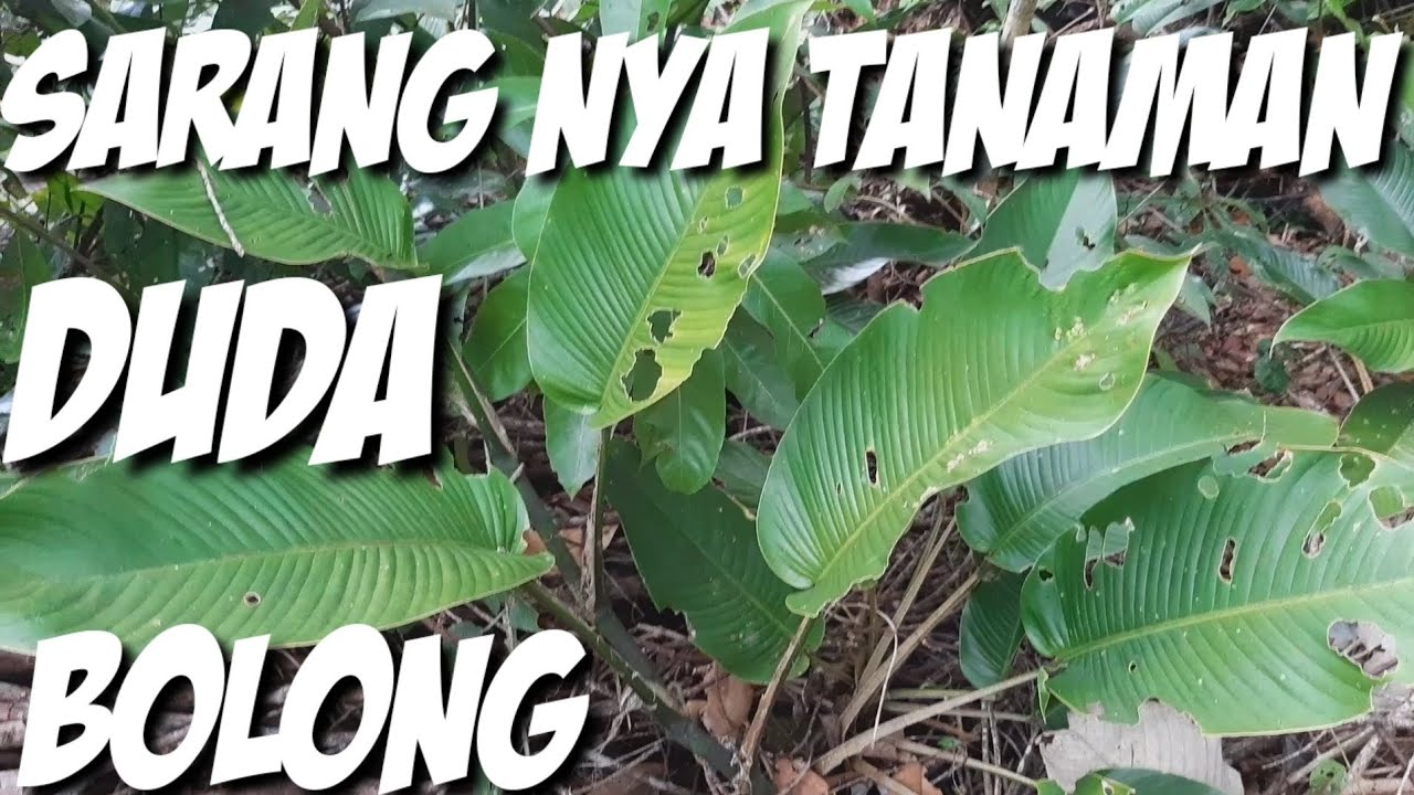 Mencari Tanaman Duda Bolong Rhaphidophora Di Hutan Kalimantan Youtube