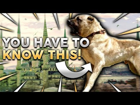 KANGAL 101! Everything You Need To Know About Owning A Turkish Kangal Puppy