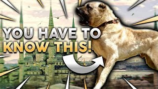kangal-101-everything-you-need-to-know-about-owning-a-turkish-kangal-puppy