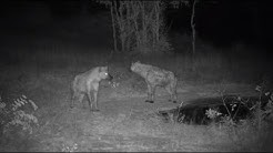 Djuma: Two Hyenas - 22:28 - 06/11/20