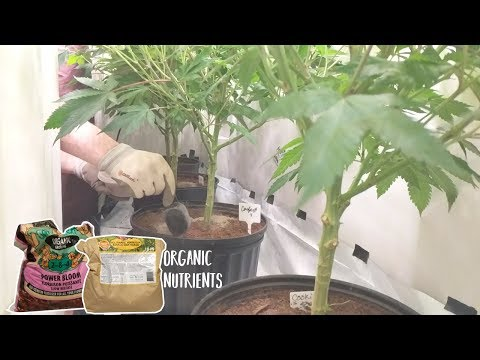 GROWING CANNABIS WITH ORGANIC DRY AMENDMENTS - TOP DRESSING