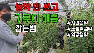 하우스 토마토 재배, 담배가루이, 온실가루이, 농약 안…