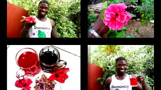 HOW TO MAKE HIBISCUS TEA: Agrosuede