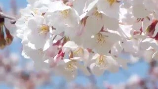 Mai Vàng Ngày Xuân   Như Ý   HD 1080