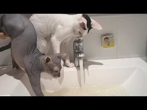 Cats Cornish Rex and Sphynx play with water. Sphynx washes