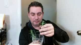 How To Make A Plant From Rosemary Cuttings
