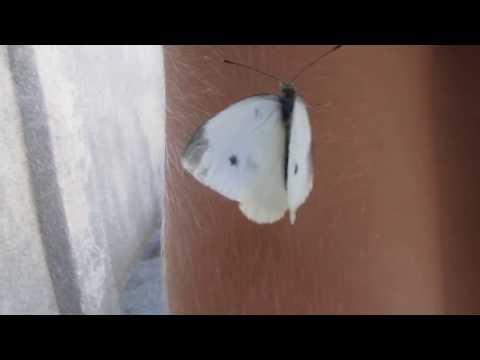 В мире животных глазами ребенка.  Бабочка капустница. Никита Нюняев. Одесса август 2017